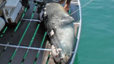 Photo of Αλόννησος: Νεκρός ο «Κωστής», η φώκια «μασκότ» του νησιού – Τη σκότωσαν με ψαροντούφεκο
